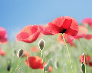 Amy Tyler - Poppy Photography Field...