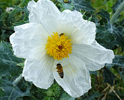Bill Morgenstern - Poppy Pollinators