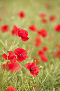 Pretty Wildflower Prints - Poppy Red Print by Anne Gilbert