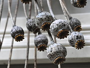 Tanya  Searcy - Poppy Seedheads