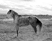 Paso Fino Horse Photos - Portina Black and White by Jenn La Mana