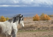 Paso Fino Horse Photos - Portina in the Breeze by Jenn La Mana