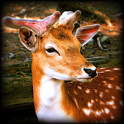 Male Framed Prints Photos - Portrait Male Fallow Fawn by Maggie Vlazny