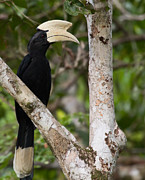 Hornbill Photos - Portrait of a Black Hornbill by Wild Strangers Photography