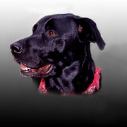 Black Lab Photos - Portrait Of A Black Lab by Skip Willits