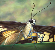 Insect Drawings - Portrait of a Butterfly by James W Johnson
