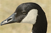 Canadian Goose Framed Prints - Portrait of a Canadian Goose  Framed Print by Saija  Lehtonen