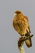Falcon Prints - Portrait of a Chimango Caracara Print by Tim Grams