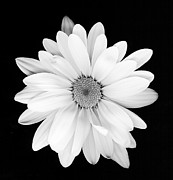 Flower Works Photos - Portrait of a Daisy by Cynthia Vreeland