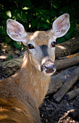 Pittsburgh Zoo Framed Prints - Portrait of a Deer Framed Print by Amy Cicconi