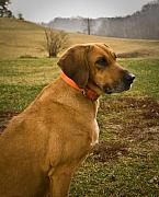 West Fork Photos - Portrait of a Dog by Douglas Barnett