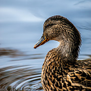 Game Photo Prints - Portrait of a Duck Print by Bob Orsillo
