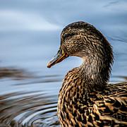 Portrait Of A Duck Print by Bob Orsillo