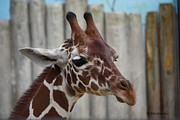 Veronica Batterson - Portrait of a Giraffe