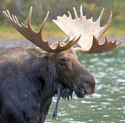 Bull Moose Photo Posters - Portrait Of A Glacier Moose Poster by Adam Jewell