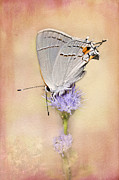 Blooms  Butterflies Posters - Portrait of a Gray Hairstreak Poster by Betty LaRue
