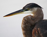 Portrait Of A Great Blue Heron - # 19 Print by Thomas Photography  Thomas