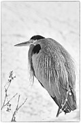 Great Blue Heron Black And White Posters - Portrait of a Great Blue Heron Poster by Dennis Hammer