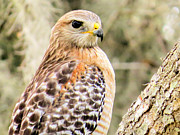 Hawk Prints - Portrait of a hawk Print by Zulfiya Stromberg