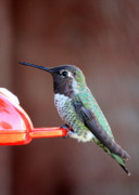 Feeder Greeting Cards Posters - Portrait of a Hummingbird Poster by Carol Groenen
