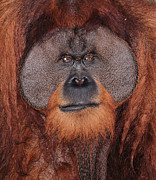 Sumatran Orang-utan Prints - Portrait of a Large Male Orangutan Print by Paul Fell