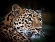Chris Boulton - Portrait of a Leopard