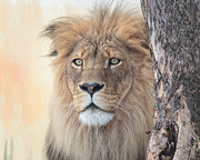 Male Animal Posters - Portrait of a Lion Poster by Everet Regal