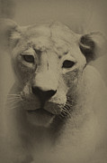William Jones - Portrait of a Lioness
