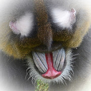 Face Art - Portrait of a Mandrill Fade to White  by Jim Fitzpatrick