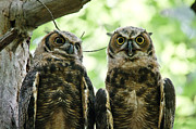 Owlets Framed Prints - Portrait of a Pair of Owls Framed Print by Cheryl Baxter