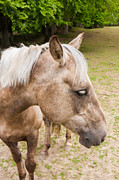 Palomino Photos - Portrait of a Palomino by Semmick Photo