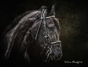 Paso Fino Horse Photos - Portrait of a Paso Fino by Ryan Courson