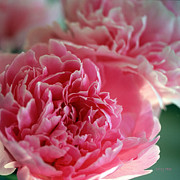 Cut Flowers Prints - Portrait of a Peony Print by Kathy Yates
