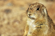 Cuddly Prints - Portrait of a Prairie Dog Print by Jason Politte
