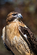 National Symbol Photos - Portrait Of A Red Tailed Hawk by Dale Kincaid