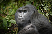 Ape Photo Originals - Portrait Of A Silverback Mountain Gorilla by Juergen Ritterbach