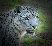 Jim Fitzpatrick Prints - Portrait of a Snow Leopard Print by Jim Fitzpatrick