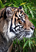 Bobcat Photos - Portrait Of A Sumatran Tiger by Athena Mckinzie