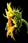 Flower Profile. Posters - Portrait of a Sunflower Poster by Gwyn Newcombe