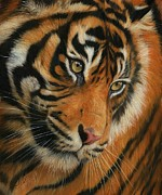 Portrait Artist Framed Prints - Portrait of a Tiger Framed Print by David Stribbling