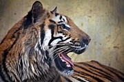 Pallab Banerjee Framed Prints - Portrait of a Tiger Framed Print by Pallab Banerjee