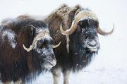 Alaska Wildlife Photos - Portrait Of A Two Bull Muskoxen by Doug Lindstrand