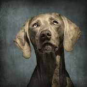 Featured Glass Metal Prints - Portrait of a Weimaraner Dog Metal Print by Wolf Shadow  Photography
