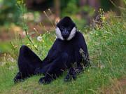 Nick  Biemans - Portrait of a White-cheeked Gibbon