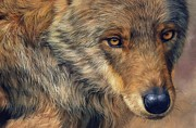 Wolves Painting Prints - Portrait of a Wolf Print by David Stribbling