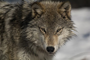 Portrait Of A Wolf Print by Wild Strangers Photography