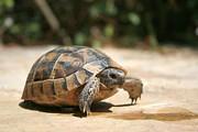 Tracey Harrington-Simpson - Portrait of a Young Wild Tortoise