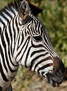 Portrait Of A Zebra Print by Maria Urso