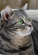 Calm Metal Prints - Portrait of an Ameriican Shorthair Cat Metal Print by Amy Cicconi