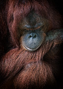 Primate Photos - Portrait of an orangutan by Zoe Ferrie